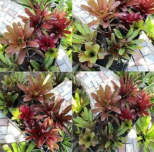 Bromeliad Neoregelia Collection 10 Pack 10 Varieties 45% Off Already Low Prices!