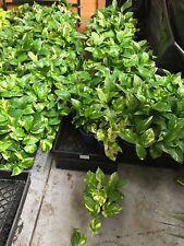 Golden Pothos, Devils Ivy, Indoor hanging cascading garden plant