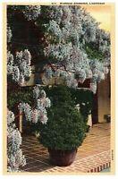 Wisteria Blossoms Vintage Linen Postcard