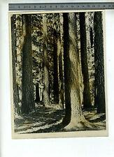 (127A) Photo press USA USIS : séquoias californie