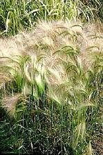 200 SQUIRREL TAIL GRASS Foxtail Hordeum Jubatum Seeds