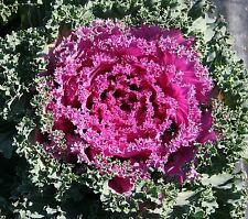 Flower Seed: Ornamental Kale Nagoya Mix 40 Seeds  Fresh Seed   FREE SHIPPING