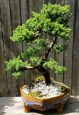 Juniper Procumbens Bonsai tree in a 14 inch ceramic pot. Made in Usa