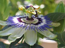 Passiflora Coerulea (Blue Passion Flower) - 25 Seeds - HH Climber