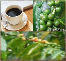 "(5) Coffee Bean Tree Seeds "" Coffee Shrub of Arabia""  Coffea Arabica - Comb. S&H"
