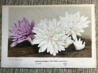 Van Houtte 1873 Antique Print: COLCHICUM AUTUMNALE Flower Garden Botanical Decor