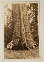 Vintage Grizzly Giant Redwoods Yosemite National Park California Postcard RPPC