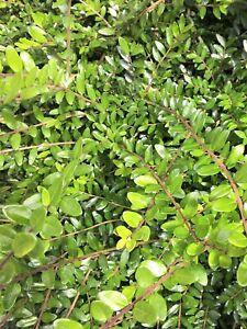 3 Lonicera Nitida Evergreen Hedging Box Honeysuckle Tree Bare Root Garden Plants