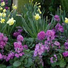 Primrose- Fairy- Lavender- 50 Seeds