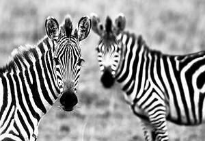 2 Wild Zebras Quality Premium Poster Art Prints Animal Wall Pictures