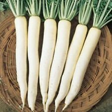 Heirloom Daikon CHINESE CELESTIAL WHITE Radish❋500 SEEDS❋Asian❋Mild Flavor Root