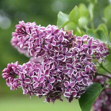 40 Semillas de Lilac (Syringa Vulgaris)