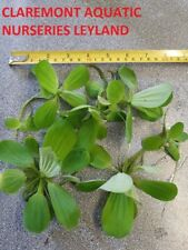 5 x Large Water lettuce floating pond plants. Water hyacinth substitute.