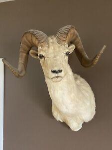 Dall Ram Sheep Shoulder Mount Taxidermy