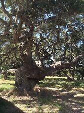 LIVE OAK TREE (QUERCUS VIRGINIANA) GUARANTEED LIVE PLANT  LIVE PLANT