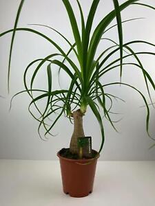 Beaucarnea Ponytail Palm 12cm Pot