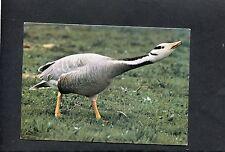 Bor Headed Goose, Bentley Wildfowl Reserve, Halland, Lewes, East Sussex. C1980's