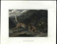 Blood Hound Hunting Tracking Dog Beauty 1804 antique engraved hand color print