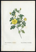 "Antique Print-""YELLOW ROSE OF TEXAS""-3, pl. 8-Redoute-Thory-1828"
