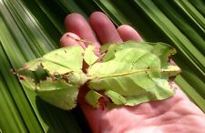 Phyllium Giganteum- Giant Leaf Insects (like Stick Insects) x25 Eggs