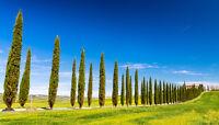 ** Mittelmeer-ZYPRESSEN Zierbaum Topfpflanze immergrün Wintergarten.