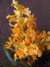 Rare Ascocentrum miniatum orchid plant FS not in bloom