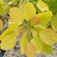 "Cotinus Winecraft Gold Smokebush Live Plant 4"" Pot Proven Winners Garden Outdoor"