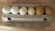 10+2 Pure Ameraucanas Blue/Green & Olive Egger Hatching Eggs