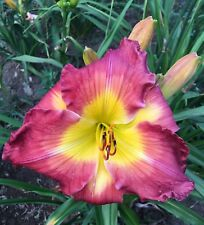 Daylily Plant MIGHTY HEART Red Yellow Perennial DF Hensley-D. Flower