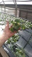 2, Helen'S,Water,Hyacin th,Pond,Biofilter,Plants,1 00%,Organic.Grown,Pa#Ooo5D l