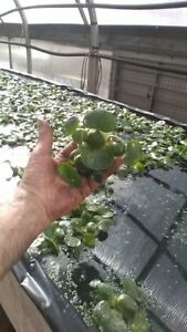 3, HELEN'S,WATER,HYACINTH,POND,BIOFILTER,PLANTS,100%,ORGANIC.GROWN,PA#OOO5DL