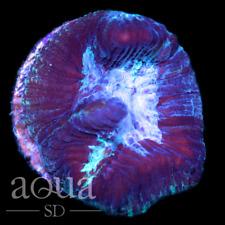 New listing Asd - 099 Whaleshark Platy - Wysiwyg - Aqua Sd Live Coral Frag