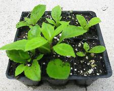 Gynura Procumbens Kit - All you need to make hundreds of plants