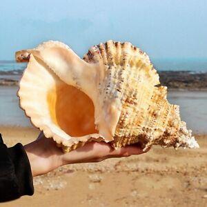 Natural Tutufa Rubeta Conch Shells Coral Sea Snail Fish Tank Home Ornament Kj