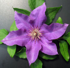 Waldrebe Clematis Hybride The President 40-60cm großblumiger Sommerblüher