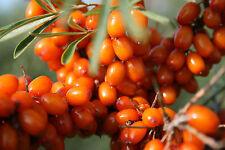 süße Früchte•Sanddorn•1000 Samen/seed•Hippophae rhamnoides•winterhart•Buckthorn