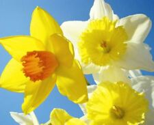 20 DWARF DAFFODIL NARCISSUS MIX GARDEN BULB AUTUMN GROWING SPRING FLOWERING CORM