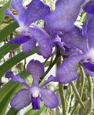 "ARANDA CHAO PRAYA BLUE, VANDA TYPE ORCHID PLANT SHIPPED IN A 2 1/2"" POT"