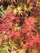 Japanese Maple Bonfire Rare!