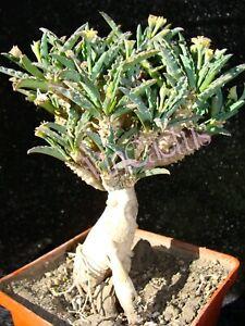 euphorbia cap-saintmariensis 5 SEEDS very rare caudex bonsai