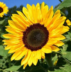 BULK Black Oil Sunflower Seeds | USA Garden Flowers Mammoth Sun Flower Seed 2022