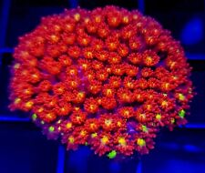 Pink and Yellow Goniopora * Goni * Live Coral Frag * Aj's Aquariums