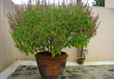 "Rare Organic ""TULASI HOLY BASIL"" (Ocimum Sanctum) 200 Seeds Perennial"