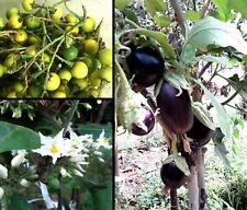 100 semi Solanum Torvum Albero delle melanzane Devil's Fig seeds eggplant