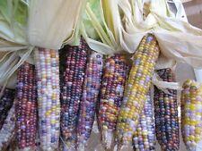 Ornamental Corn Seeds Glass Gem Organic 100 Seeds Popcorn