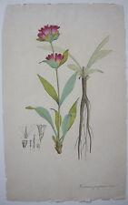 Purpurroter Enzian Gentiana purpurea   kolor Kupferstich 1800