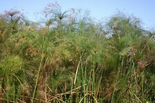 Live Giant Cyperus Papyrus Tropical Aquatic Marginal Pond Plant