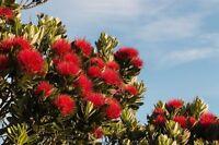 + der neuseeländische Weihnachtsbaum - feuerrote Pracht im Garten !