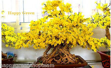 Wintersweet-Chimonanthus precoce - 10 semi bonsai