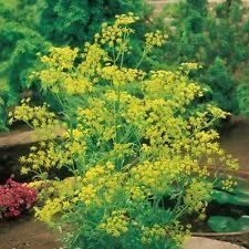 500 BOUQUET DILL 2018 (all non-gmo heirloom vegetable seeds!)